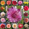 50PCS Dahlia Flower Seeds Rare Mixed Perennial Plant Bonsai Home Garden Exotic