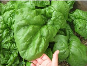Seeds Spinach Winter Giant Water Vegetable Planting Organic Heirloom Ukraine