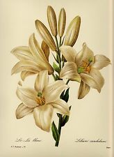 Vintage Redoute Botanical Print White Lily Flower Art Gallery Wall Art pjr 1059
