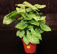 """Syngonium 'Berry Allusion' Arrowhead Shipped in 4"""" Pot EASY Tropical Houseplant"""