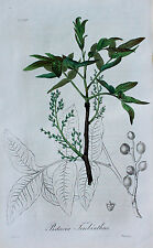 Pistacia Terebinthus Terpentin-Pistazie Turpentine Tree Pistacchio Rispe Samen