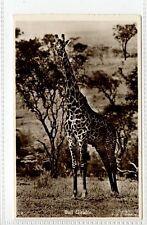 (Gt555-432) Real Photo of Bull Giraffe 1965 Used VG-EX