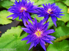 Nymphaea King of Siam Live Blue Tropical Water Lily Tuber Rhizome BUY2GET1FREE*