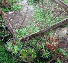 plant bien raciné de cerisier griotte de Montmorency