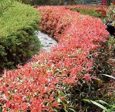 GREAT BALLS OF FIRE Callistemon salignus native brilliant red hedging plant