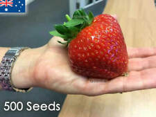 Giant Hawaiian Strawberry 500 Seeds Rare Red Strawberries Seed Heirloom Fruit