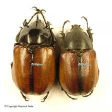 Eupatorus hardwickei hardwickei - pair, +60mm, nice! Myanmar