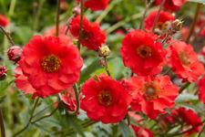 MRS BRADSHAW GEUM - Red Avens - Red Flowers - Perennial - 25 Seeds