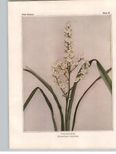 1934 Wildflower Book Plate  Bunchflower; Glaucous Anticlea; Triantha