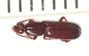 Rhysodidae sp.  NW YUNNAN (2)