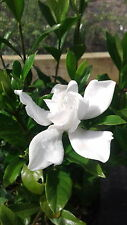 2 - August Beauty Gardenia Flowering Shrubs in 4 Inch Pots - Free Shipping