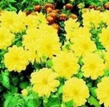 Dahlia - Figaro Yellow Shades - 25 Seeds