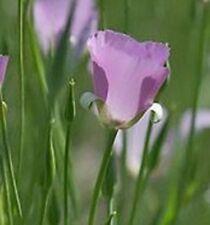 20 Calochortus CUPIDO~Mariposa Tulip/Lily~Sego Bulbs