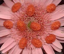 VINTAGE JAPAN CORAL Plastic Cabochon Bouquets ROSES OVAL FLOWER CABS 19mm lot
