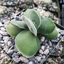 Crassula Morgan's Beauty Cactus Cacti Succulent Real Live Plant