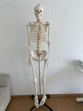 Lebensgroße Skeleton 180 cm Hoch. Menschliches Skelett Modell