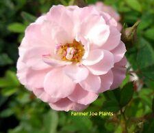 "Sunrosa - Pink Delight - Miniature Rose - 1 Plant - 4"" Pot - Antique-Zone 4 - 10"