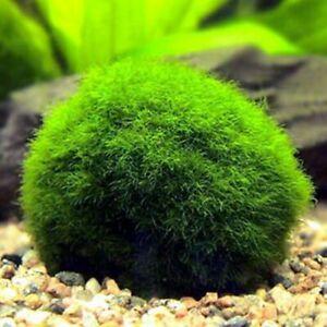 Marimo Moss Ball Cladophora Live Aquarium Plant Fish Aquarium 4-5cm