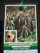 3'-4' Bonfire Patio Peach Fruit Tree Plant Trees NOW Ship To All 50 States USA !