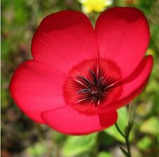 Scarlet Flax!  25 Seeds - BEAUTIFUL COLOR! Comb.S/H! SEE OUR STORE!