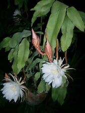🍃 Night Blooming Cereus (Epiphyllum oxypetalum) - 1 Plant (Queen of the Night)