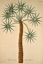 J. W Weinmann ORIG Mezzotint 1739 caranna, caragne, Caran phytanthoza-lconograph