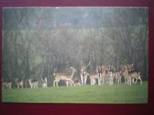 POSTCARD BUCKINGHAMSHIRE WILD FALLOW DEER NEAR OAKLEY