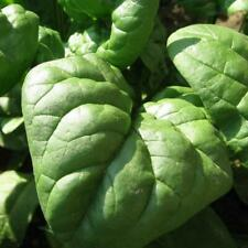 Seeds Spinach Winter Sigma Leaf Giant Vegetable Organic BIG PACK Heirloom NonGMO