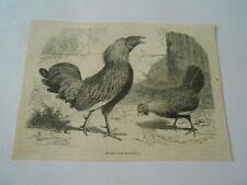 Gravure 1861 - Zouave coq de combat