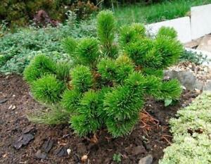 Pinus mugo v.mughus Tree 20 SEEDS from Ukraine