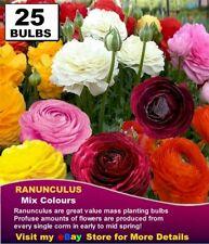 RANUNCULUS BULBS - MIXED COLOURS  25 x BULBS