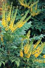 3L Pot Mahonia Winter Sun Winter Flower Shade Evergreen Shrub
