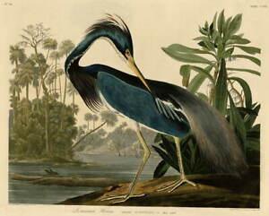 John James Audubon Louisiana Heron Poster Reproduction Giclee Canvas Print
