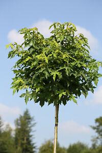 Amberbaum, Höhe: 170-180 cm, Liquidambar styraciflua Gumball + Dünger