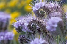 Lacy Phacelia 250 Seeds Long blooming Light Blue to Purple Bell Shaped Flowers