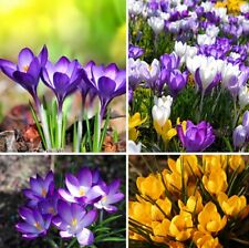 120PCS Mix of Many Varieties Saffron Seeds Seed Flower Flowers Crocus Garden