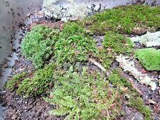 Live Forest Fresh Assorted Lichen Fern Moss Assortment Terrarium