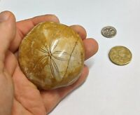 Large 65mm Jurassic age STARFISH Fossil SAND DOLLAR From Madagascar (#L3942)