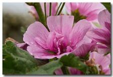 30+ Pink Zebra Hollyhock Malva  Flower Seeds / Perennial