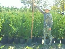 10  Leyland Cypress Trees  3  Feet Tall! Evergreen-* FREE Shipping!
