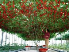 RUSSIAN TOMATO TREE SEEDS - GROW YOUR OWN TOMATO TREE -