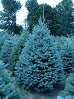 25 Semillas de Evergreen Colorado Blue Spruce