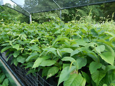 PAWPAW TREES * 12 to 18 inches * Shipped in Growing Containers * Second Year *
