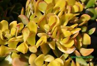 Succulent Crassula Ovata Hummel sunset golden jade plant 3 fresh cuttings