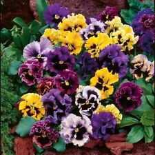 Viola (Violet)  Wittrockiana Germania Rococo Flower Seeds from Ukraine