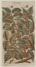 JACQUES DALECHAMPS L'ORME ORME ELM OLMO BOTANICA BOTANY MATTHIOLI 1630