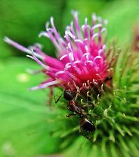 "250 ""Takinogawa Long"" Burdock Seeds~Medicinal Plant gobō beggar's buttons 4.6g"