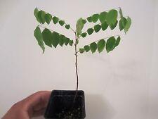 "2 pots 2 plants 18-24"" Fl Star Fruit Averrhoa Carambola Starfruit Tree"