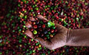 5 lbs Honduras Comsa Marcala SHG Fair Trade Organic Fresh Green Coffee Beans