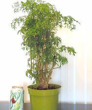 Fat Ming Aralia for mame shohin bonsai tree indoor outdoor big trunks mult list